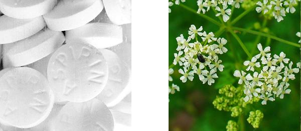 Aspirine et grande ciguë