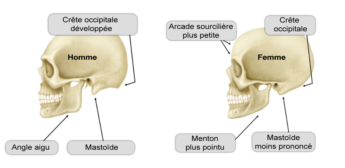 Comparaison : crâne d'homme et de femme