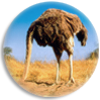 Idée reçue : Les autruches cachent leur tête dans le sable