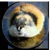 """<strong><span style='font-size:144%'> <a href=""""http://www.vulgarisation-scientifique.com/wiki/Pages.Les lemmings se suicident en masse"""" style=""""color: black;"""" >Idée reçue : Les lemmings se suicident en masse </a> </span></strong> <br clear='all' /><br clear='all' />Des rongeurs qui se jettent en groupe du haut des falaises, info ou intox ?  <br clear='all' />                                  <a href=""""http://www.vulgarisation-scientifique.com/wiki/Pages.Les lemmings se suicident en masse"""" style=""""color: black;font-weight: bold;"""" > Lire l'article</a>"""